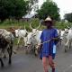 herdsmen grazing